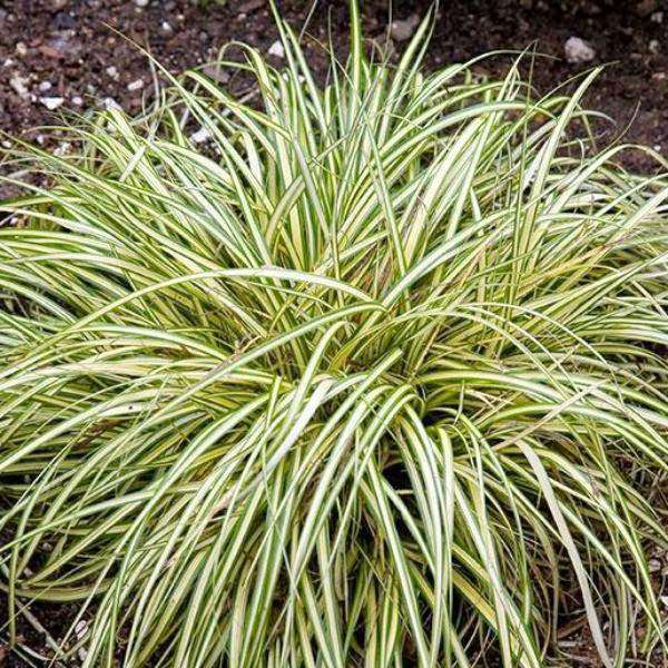 Buy Carex 'Evergold' Online | Shade Tolerant | Deer Resistant | Evergreen Ornamental Grasses | Bay Gardens