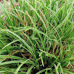 Buy Carex 'Ice Dance' Online | Evergreen Ornamental Grass | Deer Resistant | Bay Gardens