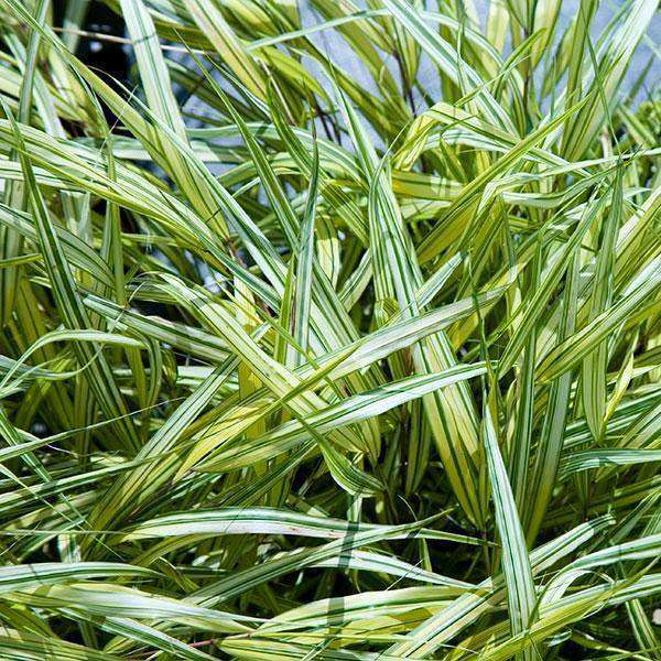 Buy Hakonechloa 'Aureola' Online | Ornamental Grasses for Shade | Bay Gardens