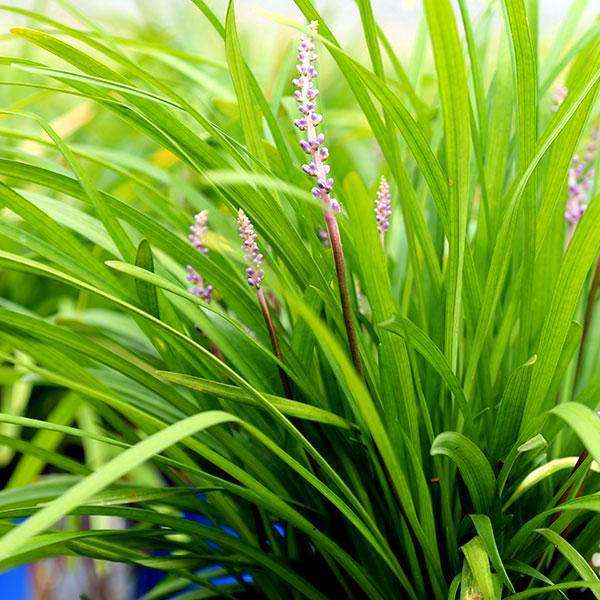 Liriope muscari 'Big Blue'