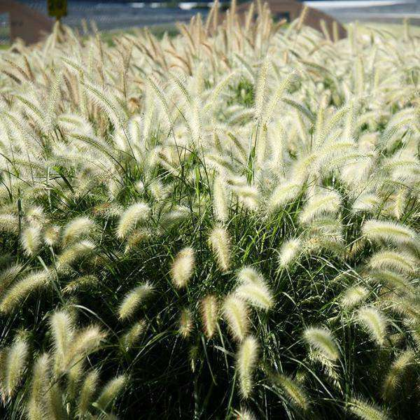 Buy Fountain Grass Online | Pennisetum alopecuroides | Deer Resistant Ornamental Grass for Sale | Bay Gardens