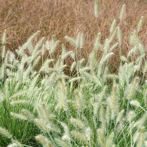 Buy Pennisetum 'Hameln', Dwarf Fountain Grass, Online | Deer Resistant Ornamental Grass for Sale | Bay Gardens