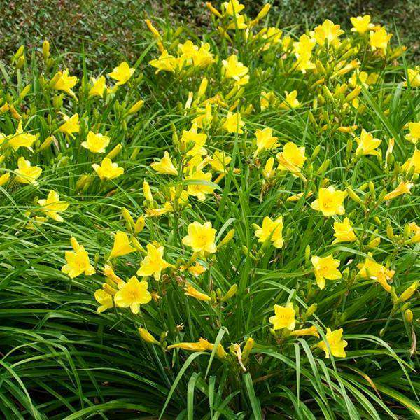 Buy Daylily 'Happy Returns' Online | Yellow Flower Sun Perennial | Bay Gardens