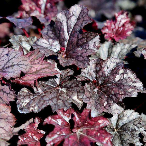 Buy Heuchera 'Plum Pudding' Coral Bells Online | Flowering Shade Perennial | Bay Gardens