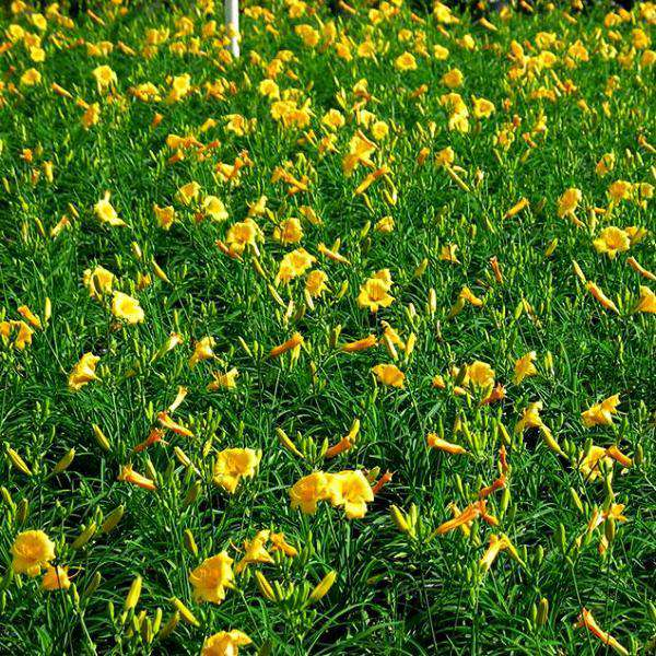 Buy Daylily 'Stella D'oro' Online | Yellow Flower Sun Perennial | Bay Gardens