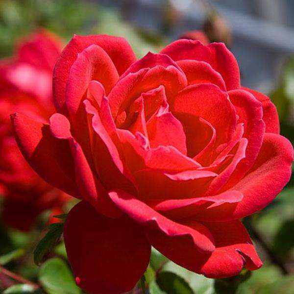 Double Knockout Rose | Rosa for sale | Flowering Shrubs