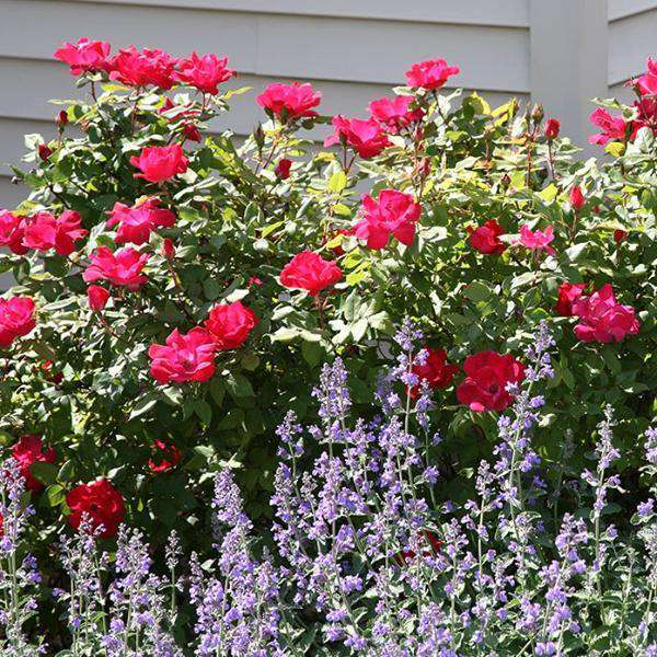 Red Knockout Rose | Rosa for sale | Flowering Shrubs