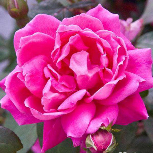 Rosa 'Pink Double Knockout'