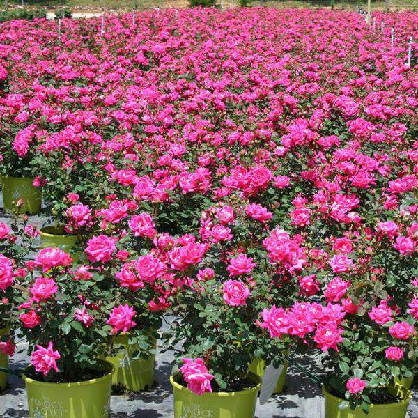 Pink Double Knockout Rose | Rosa for sale | Flowering Shrubs
