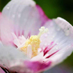 Hibiscus syriacus First Editions® 'Fiji' (Rose of Sharon)