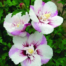 Hibiscus syriacus First Editions® 'Fiji'