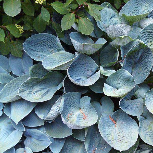 Buy Hosta 'Big Daddy' Online | Shade Perennials for Sale | Bay Gardens