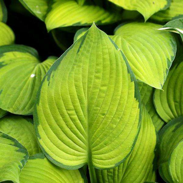 Buy Hosta 'Gold Standard' Online | Shade Perennials for Sale | Bay Gardens