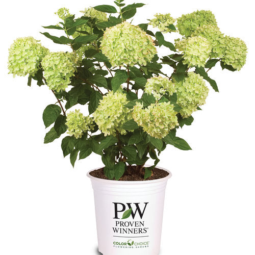 Hydrangea pan. 'Little Lime®'