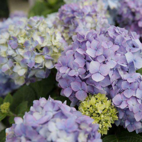 Buy Hydrangea Bloomstruck Online | Flowering Shrubs | Bay Gardens