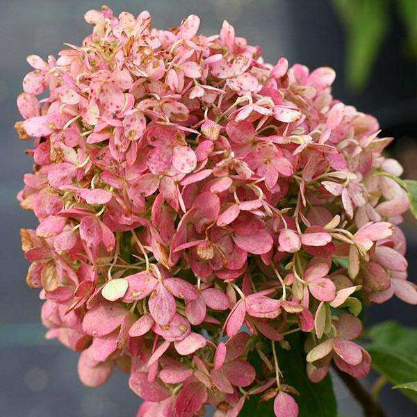 buy hydrangea 39 phantom 39 online flowering shrubs bay gardens bay gardens. Black Bedroom Furniture Sets. Home Design Ideas