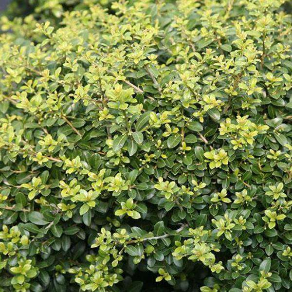 'Green Luster' Holly