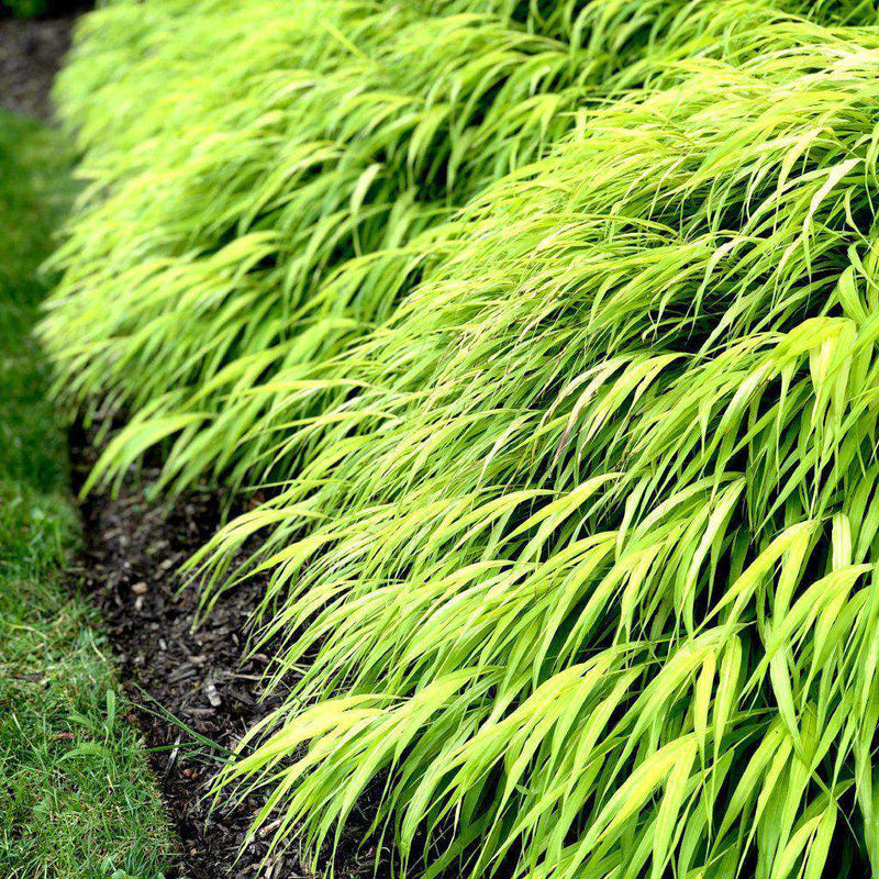 All Gold Japanese Forest Grass | Hakonechloa macra 'All Gold' | Ornamental Grass for Shade