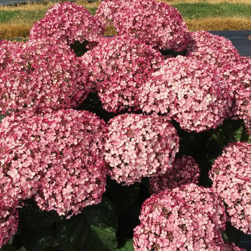 Hydrangea arb. 'Incrediball® Blush