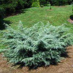 Buy 'Aneglica Blue' Juniper Online | Evergreen Shrub | Bay Gardens