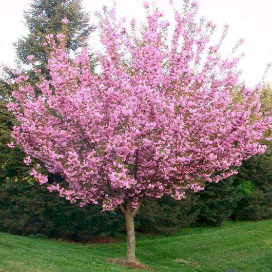 Buy Kwanzan Cherry Online Shade Flowering Trees Bay Gardens