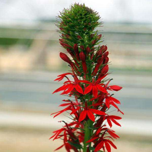 Buy Lobelia Cardinal Flower Online | Flowering Native Perennial | Bay Gardens