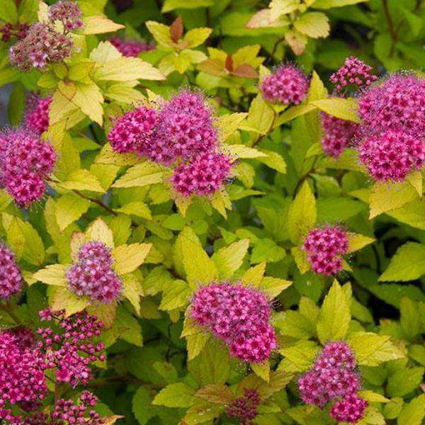 Spirea x bumalda 'Magic Carpet'