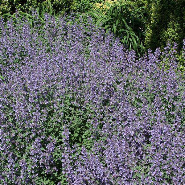 Nepeta x faassenii 'Walkers Low' - Flowering Catmint
