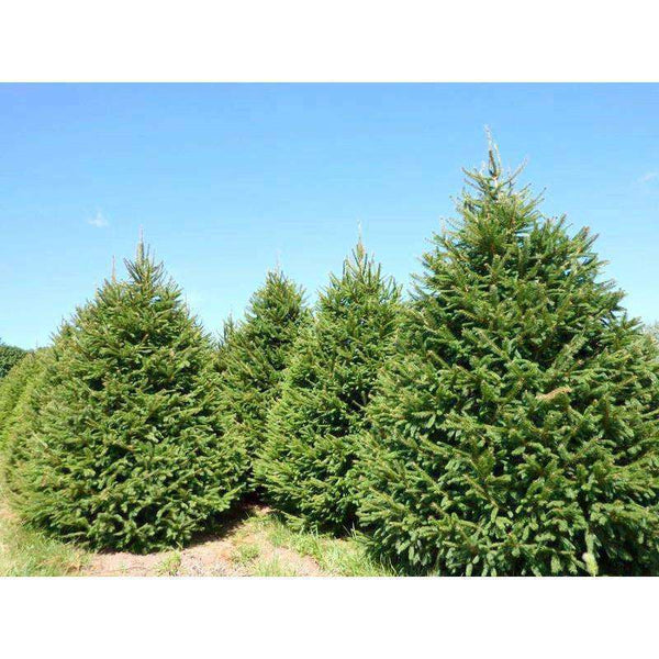 Buy Norway Spruce Online | Deer Resistant Privacy Evergreen | Bay Gardens