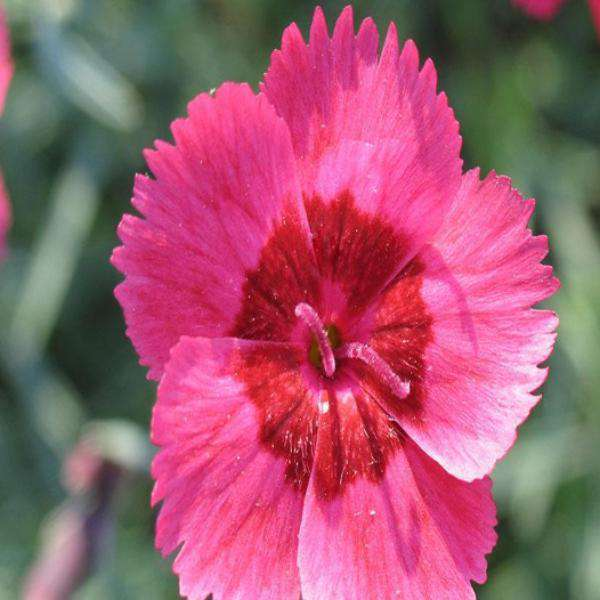Eastern Star Dianthus