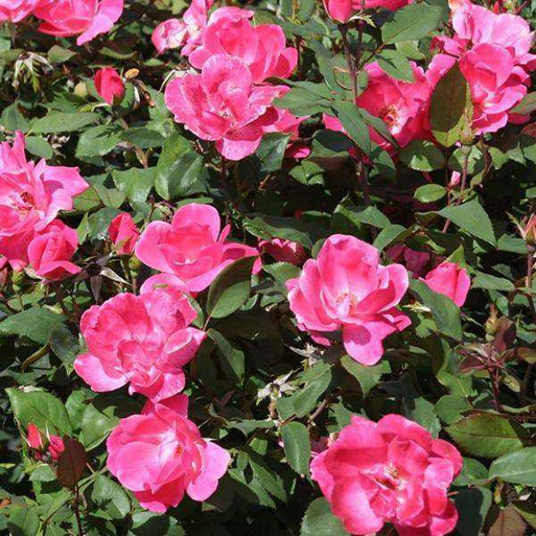 Pink Knockout Rose | Rosa for sale | Flowering Shrubs