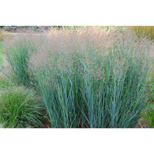 Heavy Metal Switchgrass-Bay Gardens-Bay Gardens