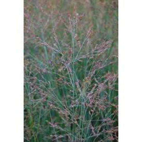 Native Switch Grass-Bay Gardens-Bay Gardens