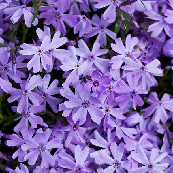 Phlox subulata 'Emerald Blue'