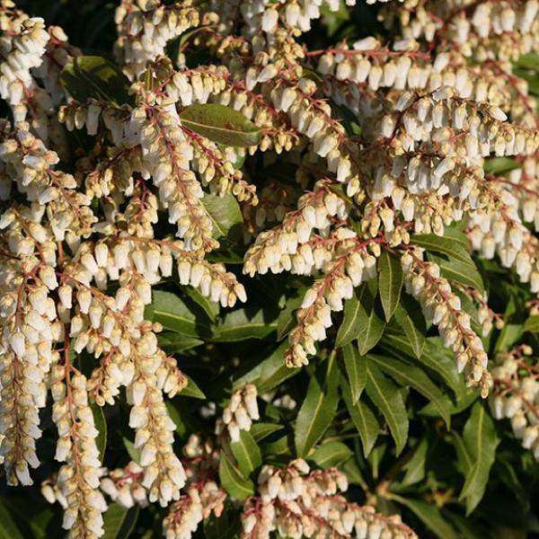 "Pieris japonica ""Mountain Fire Andromeda"""