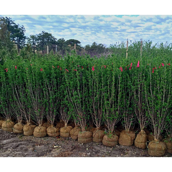 Buy California Privet Hedge Online | Ligustrum Ovalifolium | Privacy Hedge | Bay Gardens