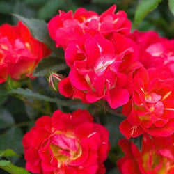 Rosa 'Red Drift'®