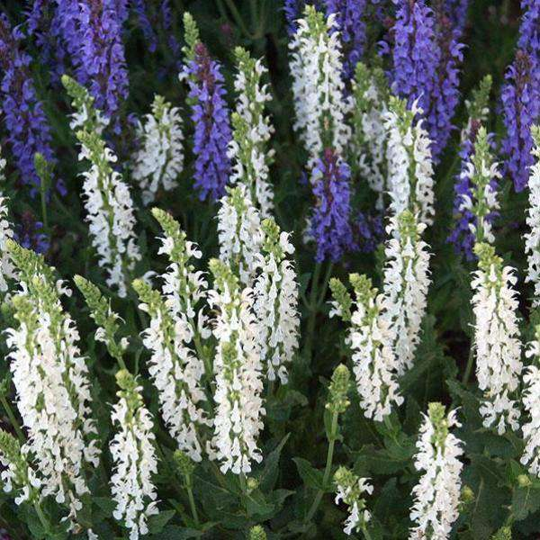 Salvia x sylvestris 'Snow Hill'