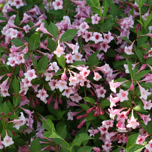 Weigela flo. Sonic Bloom® 'Pure Pink'