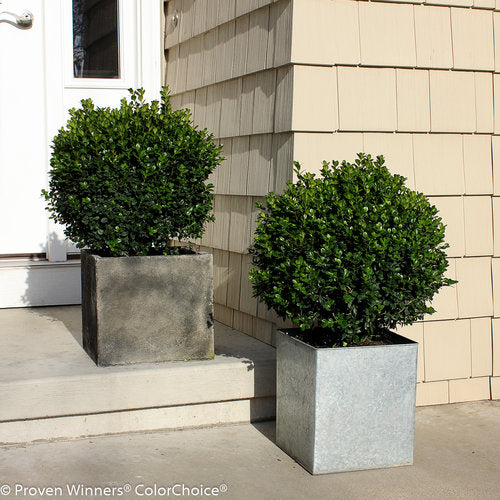 Boxwood 'Sprinter®'