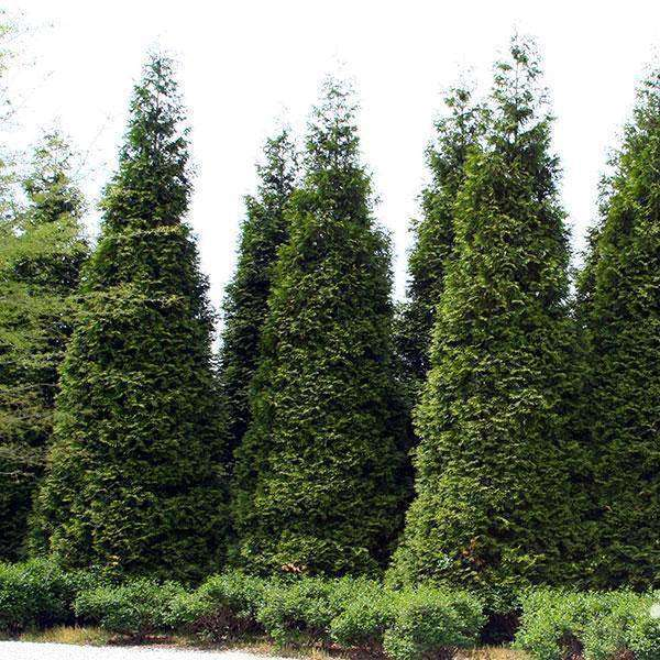 Green Giant Arborvitae | Thuja 'Green Giant' | Copyright Bay Gardens