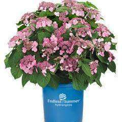 Buy Hydrangea 'Twist & Shout' Online | Flowering Shrubs | Bay Gardens
