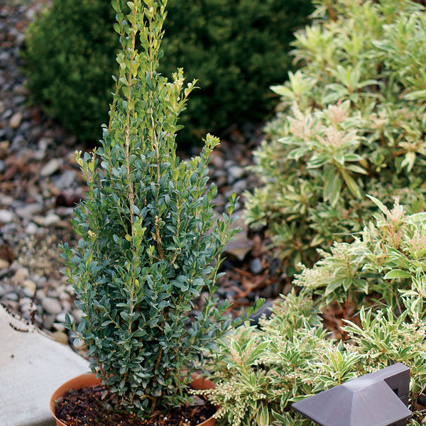 'Skywalker' Boxwood