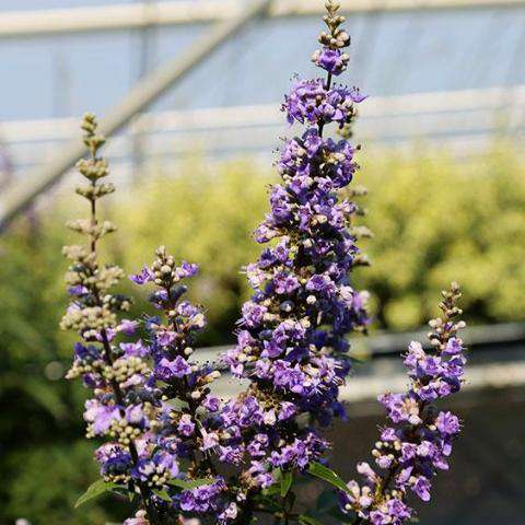 Vitex 'Shoal Creek' | Flowering Shrub