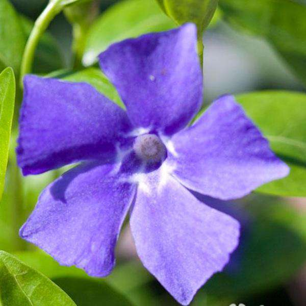 Buy Vinca 'Bowles' Perinwinkle Online | Flowering Groundcover | Bay Gardens