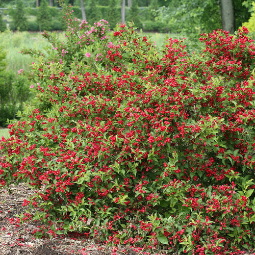 Weigela flo. Sonic Bloom® 'Red'
