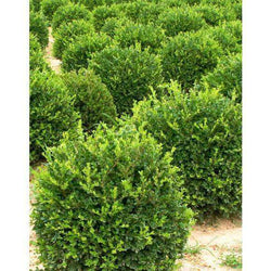 Winter Gem Boxwood-Bay Gardens-Bay Gardens