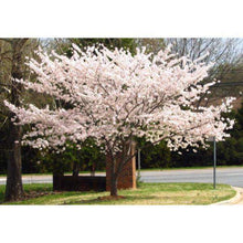 Yoshino Cherry Tree-Bay Gardens NY-Bay Gardens