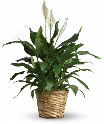 Green Plant - Peace Liliy