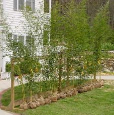 Bamboo spacing